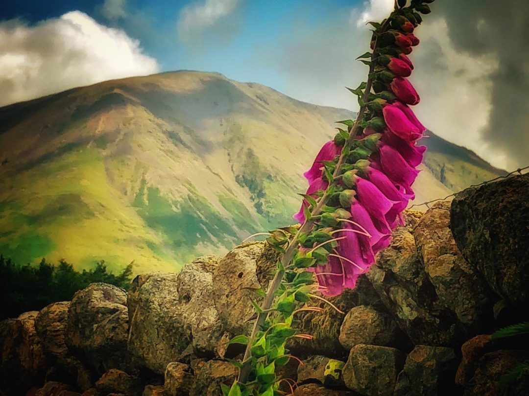 lake district fell and foxgloves